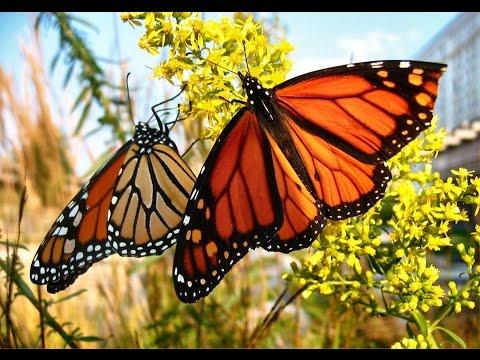 Chiêm bao thấy bươm bướm xanh