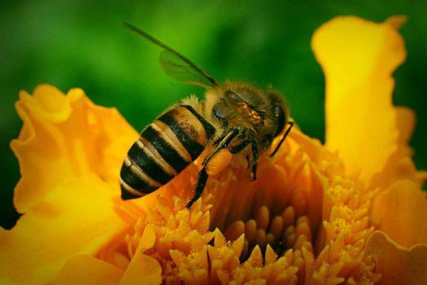 mơ thấy ong
