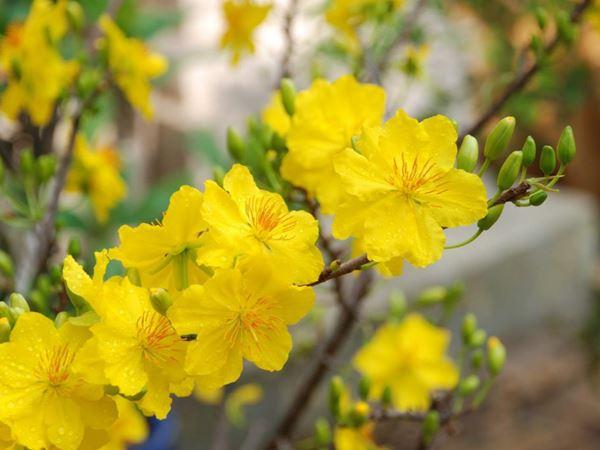 Mơ thấy hoa mai báo hiệu điều gì – Đánh số mấy may mắn?
