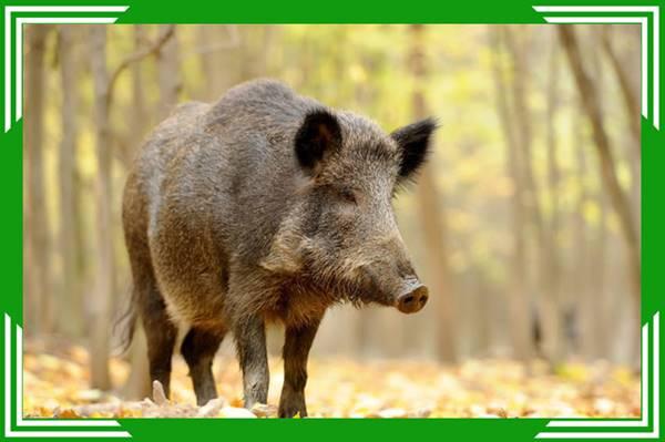 Nằm mơ thấy lợn rừng đánh con số gì